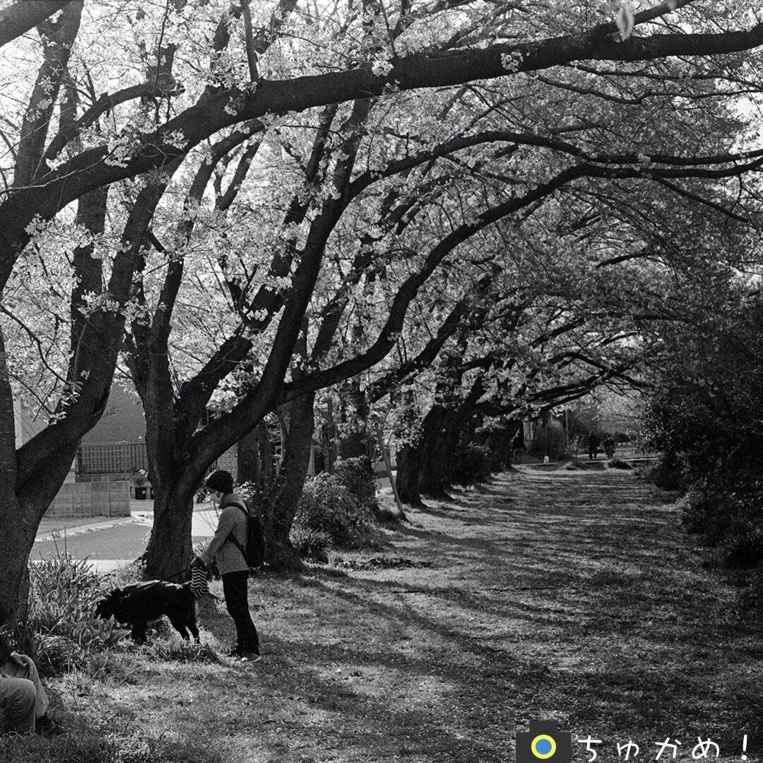 桜の下を犬の散歩する女性
