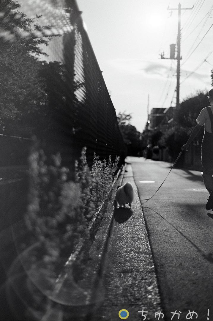 散歩中のパピヨン
